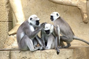 green-monkeys-112275_960_720