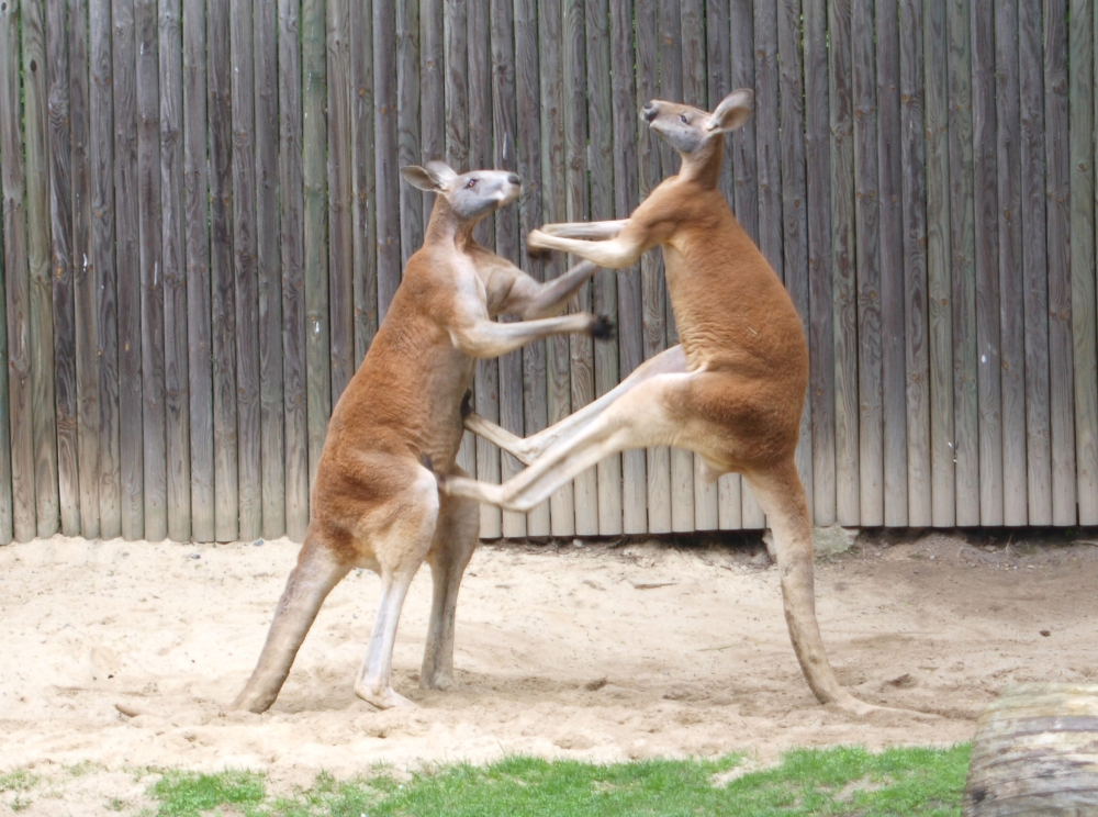 -_fighting_red_kangaroos_1.jpg